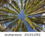 Long Trees With A Blue Sky Sho...