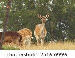 Fallow Deer   Dama   Hind...
