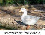 White Beautiful Duck Near A Pond