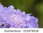 Scabiosa Flower Closeup