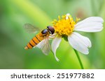 Hoverflies  Sometimes Called...