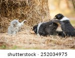 Stock photo little kitten playing with rough collie puppies 252034975