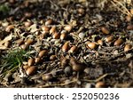 A Pile Of Acorns On The Ground.