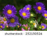 Violet Asters Blooming In The...
