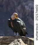 Small photo of Spectacular California Condor. This is Number 4 who was born in the year 2000 and was 14 in 2014. This is a male named Amigo. They became extinct in the wild in 1987 but have been reintroduced.