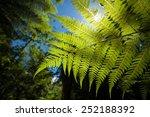 a new zealand fern in a lush... | Shutterstock . vector #252188392
