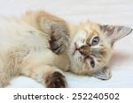 Stock photo playful eight weeks old kitten laying on a bed 252240502