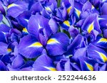 Blue Flower Irises  Nature...