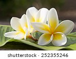 Frangipani Tropical Flowers ...
