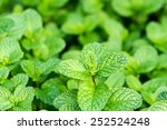 close up of fresh mints growing ... | Shutterstock . vector #252524248