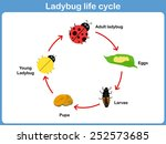 vector cycle of ladybug for kids   Shutterstock .eps vector #252573685