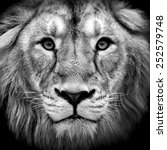 Stock photo black and white closeup portrait of an asian lion king of beasts wild beauty of the biggest cat 252579748