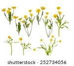 Set Of Yellow Buttercup Flower...