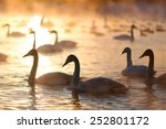 a big group of wild swans... | Shutterstock . vector #252801172