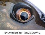 live carp fish eye shot close up | Shutterstock . vector #252820942