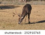 White Tail Deer Eating Grass I...