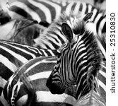 pattern of zebras  masai mara ... | Shutterstock . vector #25310830