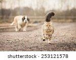 Stock photo saint bernard puppy running behind adult tabby cat 253121578