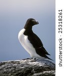 Small photo of Razorbill ( Alca torda ) on cliff Scotland coastline