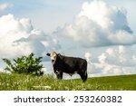 cow grazing on a prairie field... | Shutterstock . vector #253260382