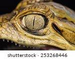 Closeup Eyes Cayman Crocodile...
