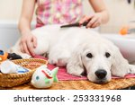 Stock photo girl owner is combing out the fur of retriever puppy after shower 253331968