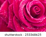 Rose  Close Up  Isolated On...