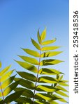 Small photo of A green paripinnate leaf is photographed closely against the blue sky.