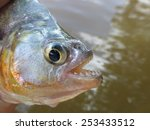 Piranha  Serrasalmidae  In The...