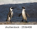 Jackass Penguins  Spheniscus...