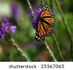 Monarch On Purple Flower...