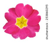 Primrose Pink Flower Isolated...