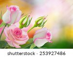 Stock photo beautiful pink rose in a garden 253927486