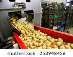 Cleaned Potatoes On A Conveyor...