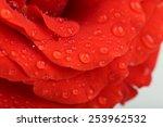 water drops on rose petals ... | Shutterstock . vector #253962532