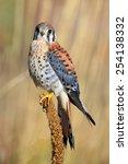 american kestrel  falco... | Shutterstock . vector #254138332