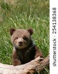 Grizzly Bear Cub  Ursus Arctos...