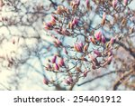 Blossoming Of Magnolia Flowers...