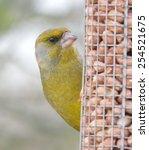 european green finch carduelis... | Shutterstock . vector #254521675