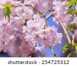 cherry blossoms | Shutterstock . vector #254725312
