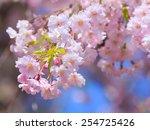 cherry blossoms | Shutterstock . vector #254725426