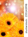 orange gerber flowers on color... | Shutterstock . vector #255143998
