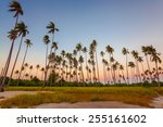 Постер, плакат: Beauty coconut plantation on