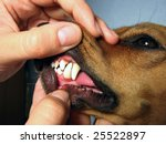 A Dachshund breed dog looking teeth - stock photo
