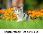 Stock photo little kitten walking on the lawn 255348115