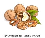 walnut. vector illustration.... | Shutterstock .eps vector #255349705