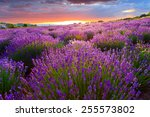 sunset over a summer lavender... | Shutterstock . vector #255573802