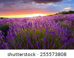 sunset over a summer lavender... | Shutterstock . vector #255573808