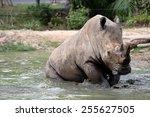 Dirty Rhino In The Muddy Water