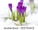 Violet Crocuses On The Snow